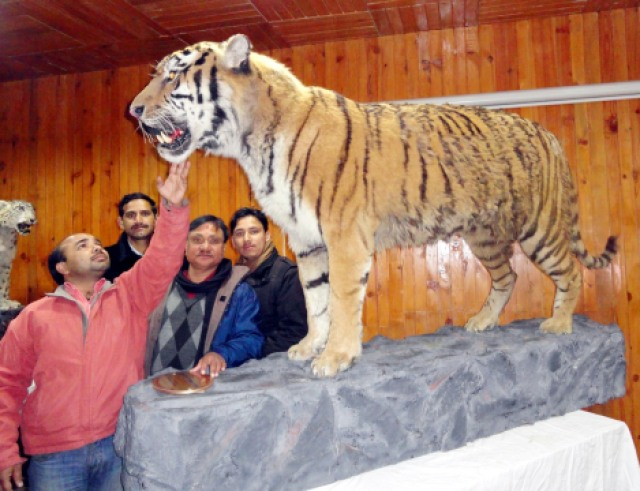 with Saiberian Tiger Kunal