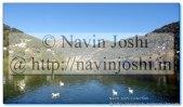 Rajhans Ducks in Nainital