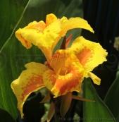 पहाड़ के प्रसिद्ध रंगवाली पिछोड़े सा नजर आने वाला केवड़े का फूल