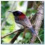 Crimson Sunbird (Aethopyga siparaja) Female