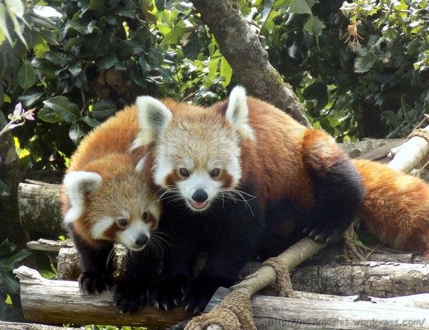 बड़े हो गए हें रेड पांडा के बच्चे (04.10.2015)