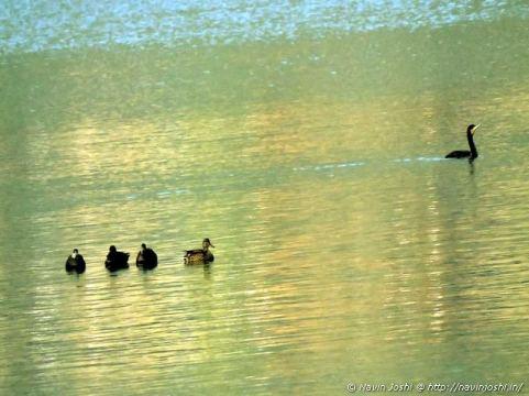 नैनी झील में विचरण करते ग्रेट कॉमोरेंट और सुर्खाब पक्षी के जोड़े।