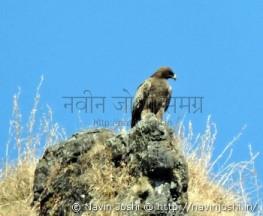Steppy Eagle (1)