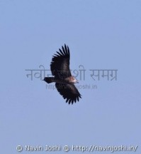 Steppy Eagle (2)