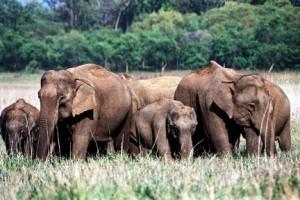 Elephants by Balbeer Singh