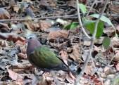 एम्बर्ल्ड डॉव (ग्रीन पिजन) हरा कबूतर