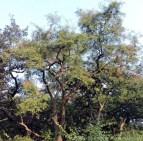 khairs-tree