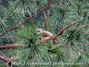 Rain drops on a Pine tree @ Maheshkhan
