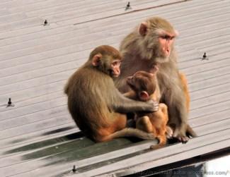 Monkeys...