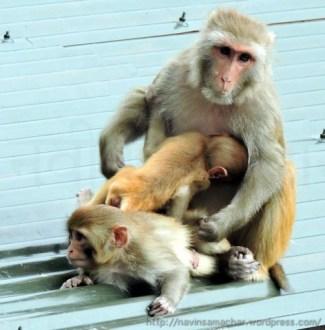 Monkeys.