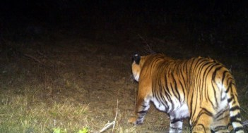 Royal Bengal Tiger in Kunjakharak